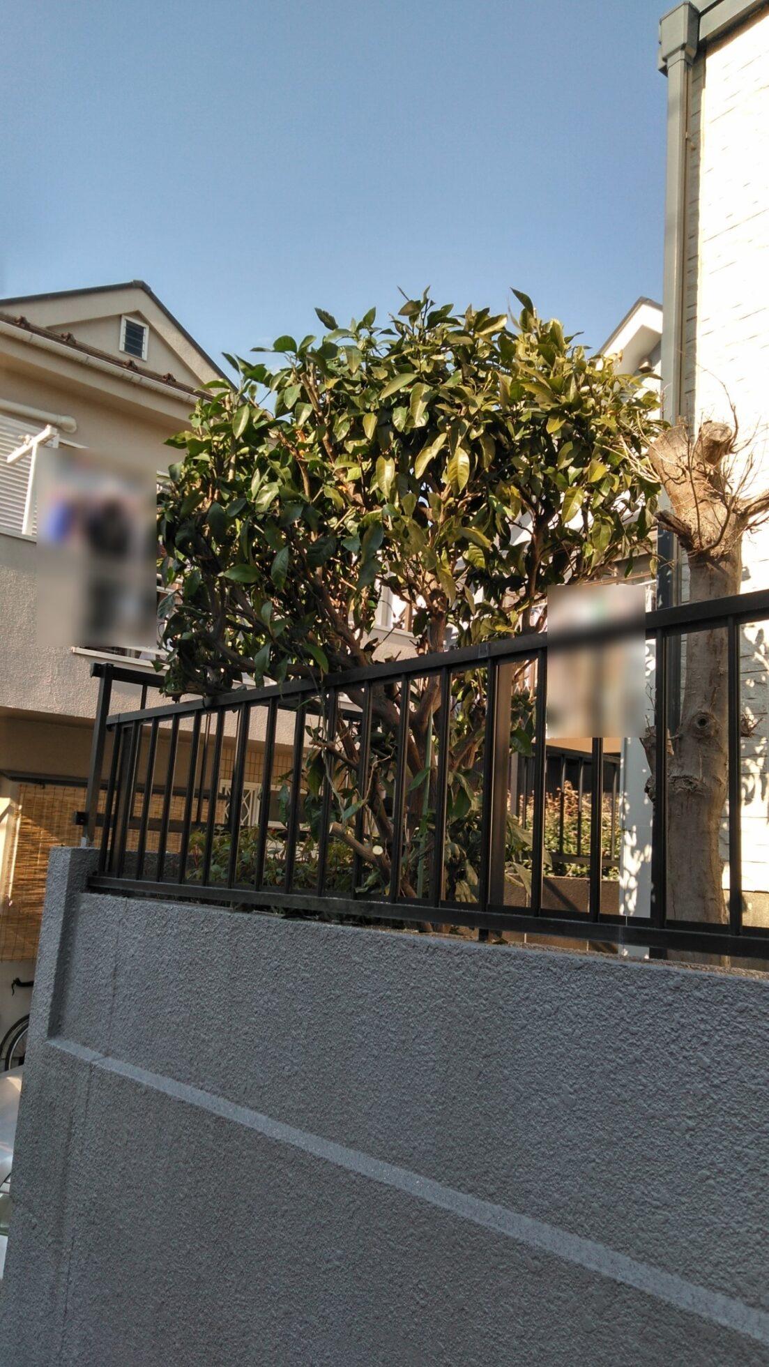 「みかんの木の剪定(約1m)」の施工後写真