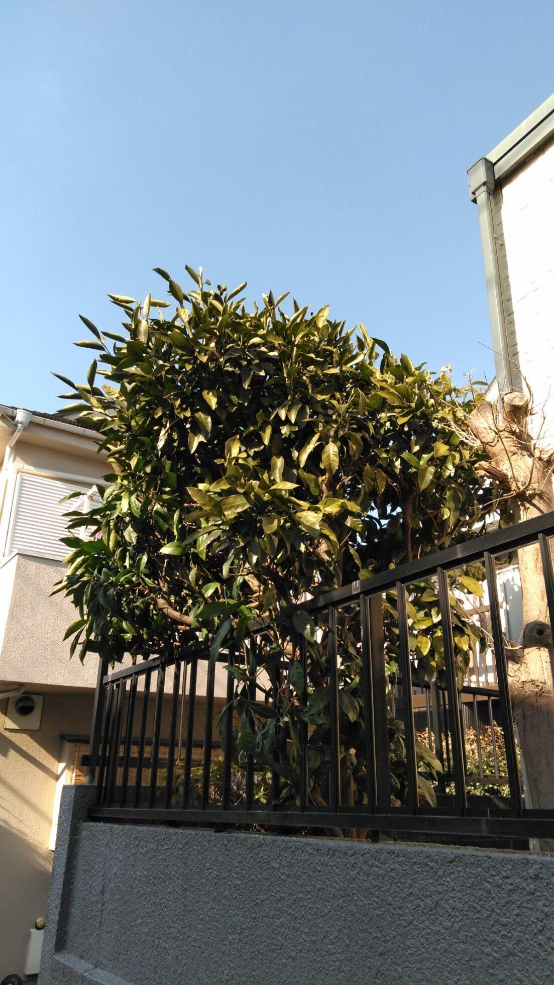 「みかんの木の剪定(約1m)」の施工前写真